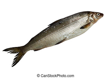 fresh whitefish - single fresh whitefish isolated on white...