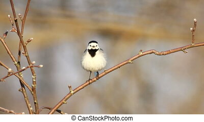White Wagtail perched on a tree.