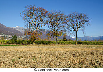 Corn field with a tree and mountains in autumn