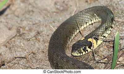 Grass Snake (Natrix Natrix) resting in the warmth