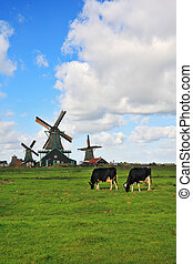 The field with windmills and cow - Green grass field with...