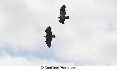 Bald Eagle Aerial Mating Dance Slow - Two bald eagles...