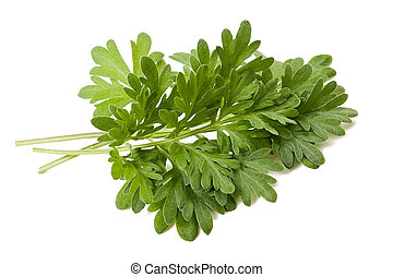 artemisia arborescens - artemisia sprig isolated on white