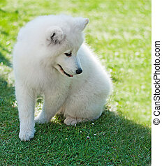 Puppy Samoyed - Cute Puppy white samoyed posing on grass