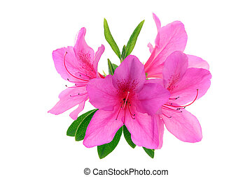 azalea flowers isolated on white background