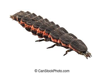 luciérnaga, hembra, larva, especie, nyctophila,...