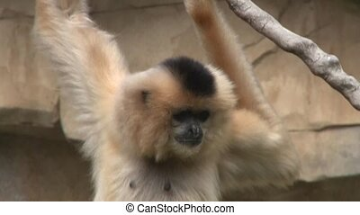Gibbon - close up of a Gibbon monkey