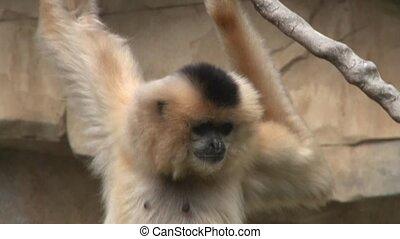 Gibbon - close up of a Gibbon monkey