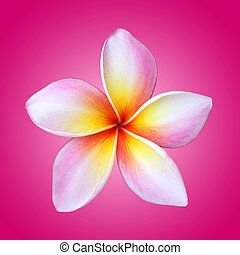 Plumeria flower isolated on pink