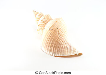 Marine sea shell in a studio setting against a white...