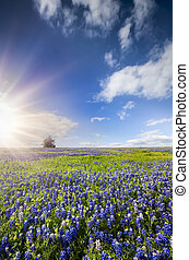 Bluebonnet Fields in Palmer, TX - Bluebonnets and sunflowers...