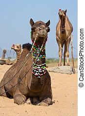 Camel at the Pushkar Fair , Rajasthan, India - Camel at the...