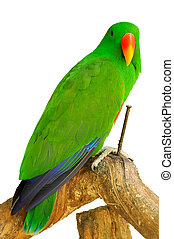 Electus parrot - The Eclectus Parrot is a parrot native to...