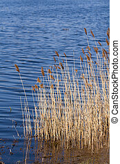 The rippling water, lakeside reeds - Clear waters of the...