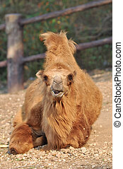 bactrian camel - Bactrian camels have two humps rather than...