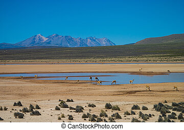 Vicuna in the Andes drinking at a standpipe