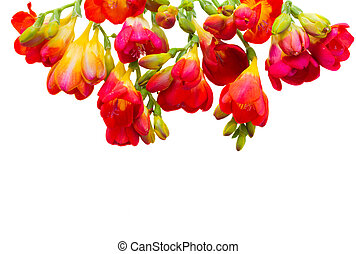 red  freesia flowers isolated on white background