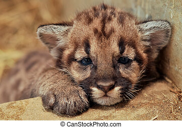 cougar cub - When cougars are born, they have spots, but...