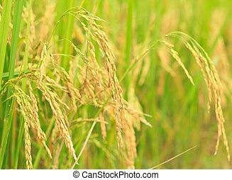 The ripe rice in the fields