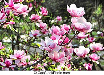 Spring trees in bloom - Beautiful trees in bloom with...
