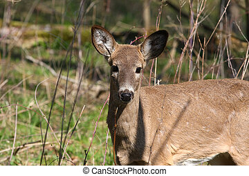 White-tail Deer - White-tail deer in morning sun body...