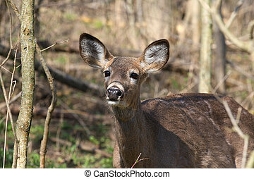 White-tail Deer - White-tail deer in morning sun smelling...