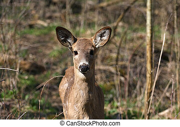 White-tail Deer - White-tail deer in morning sun head on...