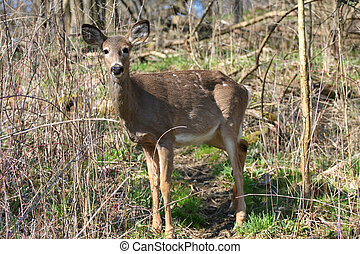 White-tail Deer - White-tail deer in morning sun losing...