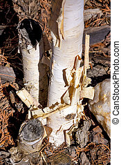 Rolled up bark from a birch tree - White Birch tree bark