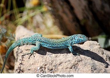 Formentera lizard - Formentera wall lizard Podarcis...