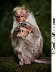 Mother monkey cleaning her baby in bamboo forest. South India