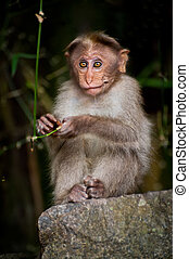 Small monkey looking around in bamboo forest. South India
