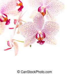 phalaenopsis - white and magenta phalaenopsis orchid...