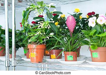 Stephanotis plant in flower store