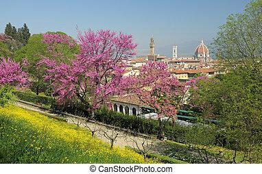 Flowering Judas tree in Florence - Flowering Judas tree in...
