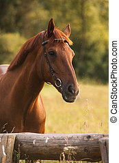 Horse portrait in summer - Mixed breed horse portrait at...