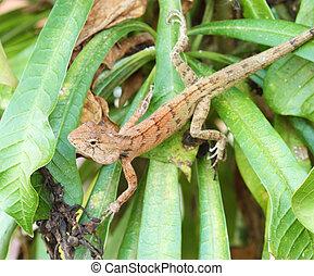 Wild lizard in Thailand close-up