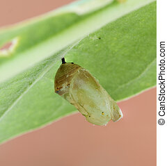 monarch butterfly cocoon on leaf