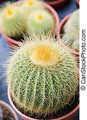 Round shaped cactus