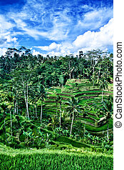 Green Paddy Field - Scene of green paddy field in Bali...