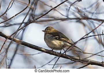 Yellowhammer (Emberiza citrinella ) sitting on a branch