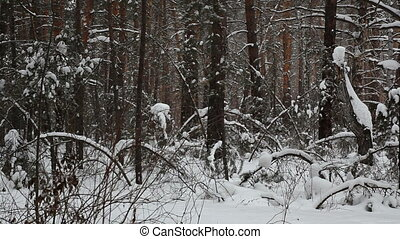 Snowfall in the winter forest.