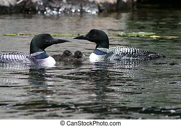 Loons with Babies - Pair of adult common loons with...