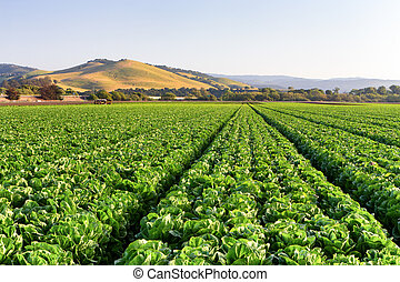 Lettuce Field in Salinas Valley, California