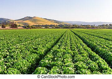 Lettuce Field in Salinas Valley, California.