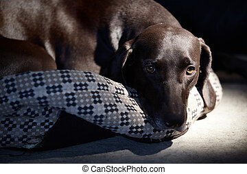 Single dog - Sad German short-haired pointer laying down...