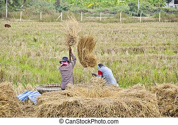 granjeros, Zurrar, su, Cosecha