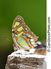 Tropical Butterfly - Tropical malachite butterfly siproeta...