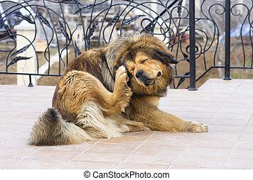 cão, arranhando, pulga