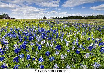 Bluebonnet Fields in Palmer, TX - Bluebonnets and sunflowers...